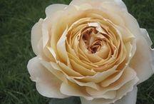 Roses / Varieties of Roses by name