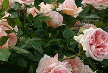 Rose wish list