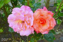 ROSEN, mit meinen Augen gesehen / Ich liebe Rosen in allen Farben und Formen. Entdecke ich ein schönes Exemplar, dann zücke ich meine Kamera und konserviere sie mir für die Ewigkeit.