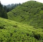 India Tea Farms / by International Tea Farms Alliance
