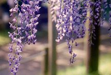 wisteria and other gorgeous vines / by Kelly Cornelsen