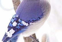 Birds   ( Jays  blue,green,pinyon and ect. )