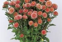 Aster / Callistephus / Aster / Callistephus seeds for professional production of cut flowers.