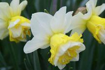 narcisy a jiné jarní květiny