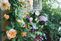 rosa Crepuscule / Rosa Crepuscule e clematis westerplatte