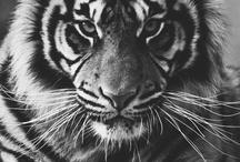 animal perfecto, tigre