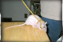 Rats Pets