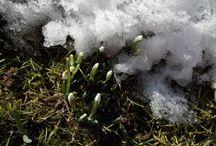 Sněženky: Václav Kovalčík, Zlín / únorové tání sněhu v kompozici s nádhernými rostlinami...