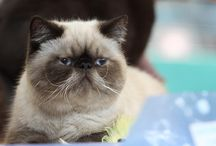 my cattery persian and exotic