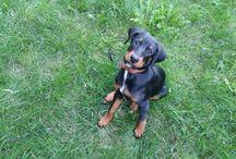 My transylvanian hound