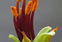 Phormium tenax - Gardensweekly Design Ltd / Phormium tenax