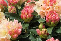 Rhododendron og andre surbundsplanter - jeg må eje!