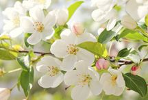 Цветущие яблони, вишни и др.