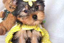 Yorkshire Terrier baby
