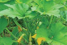 Vegetable Garden Plants & Ideas for 2016