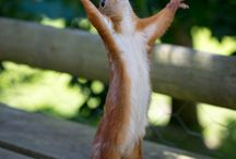 Kurret (Squirrels)