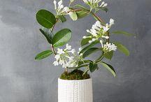 plant jasmine