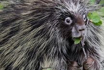 Porcupines ~ Books, Crafts, Decor, Photos, Toys / Inspiration based off of Prickly Porky, character in the Thornton W. Burgess books. Classic literature for kids.