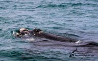 Dyer Island Cruises / Whale Watching and Eco Marine Big 5 Tours  Dyer Island Cruises offers Whale enthusiasts the most up close and personal experiences with their beloved wildlife.  Based in Kleinbaai, Gansbaai.  www.whalewatchsa.com