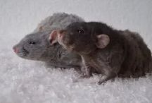 Rats / All about rats