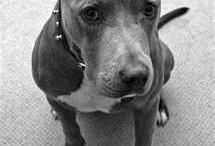 APBT / Pitbulls best dogs ever!!