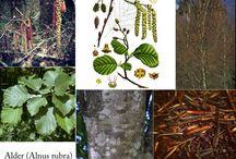 Herbs: Alder