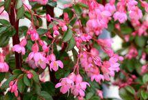 Begonia flori