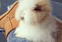 teddy dwerg konijn