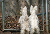 Westie Haighland White Terriers