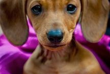 Doxies! / by Joanna Byrne