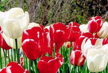 Other Tulip festivals around the world