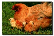 Better Living with Chickens / Raising Chickens / by Laura Homan