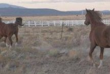 Beauty of Arabians Running