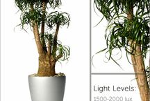 Plants for High Light Indoor Areas / These plants require full light and will thrive in areas where there is direct sunlight.