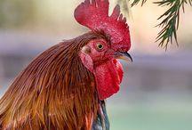 galli galline  e galletti di ory