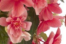 Begonia - begónie - vyš.klas.  Kysalovité