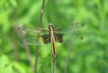 Dragonflies!! / by APS Foundation of America, Inc. .