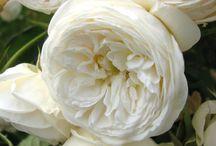 Tantau rózsák