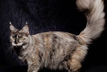 Maine Coon - Black Torty Smoke / #MaineCoon #Black #Torty  #Smoke #Cats
