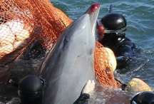 Dolphin Causes / Stop the Taiji men from hunting Dolphins.