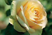 ROSES / Beautiful roses / by Asuman İlkiz