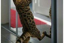 cat's cradle / lynx domesticated