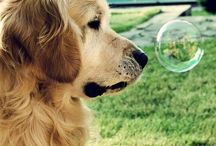 Goldies - Golden retriever / What a lovely dog
