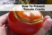 Tomatoes / Gardening