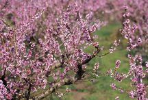 Paisatges de la Ribera d'Ebre / La Ribera d'Ebre és un gran jardí, que canvia de colors segons l'estació de l'any. A finals d'hivern i a la primavera és quan l'esclat de colors és més intens, és quan ametllers, presseguers i cirerers cobreixen la comarca de tons rosàcis i blanquinosos.