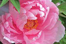 blossommmm