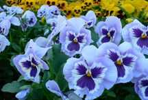 Pansy Lovers / how beautiful they are ..