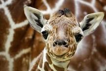 Gentle Giraffes / by Debbie Beals