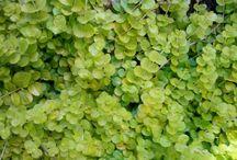 Myrsinaceae