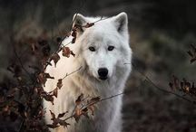 wolves and other wildlife i love